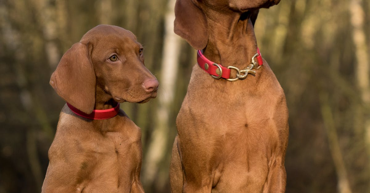 2 vizsla dogs standing on brown wood plank 183 free stock photo