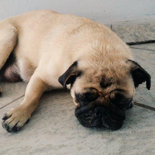 Δωρεάν στοκ φωτογραφιών με pugs, πατημασιά, σκύλος
