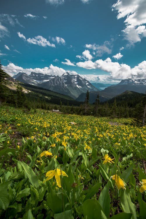Yellow Petaled Flower Field Viewing Mountain Under Blue and White Sky