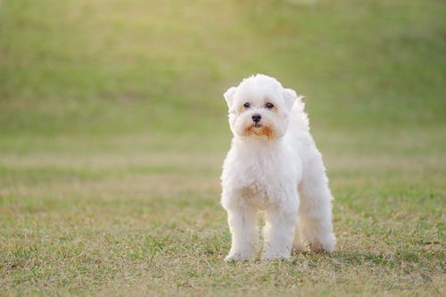 c<, 狗, 白色, 看著 的 免費圖庫相片