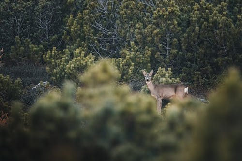 Free stock photo of alps, deers, mountain, roe deer