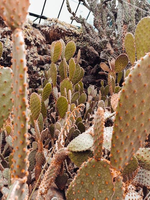 Foto d'estoc gratuïta de abundància, cactus, conservatori, creixement