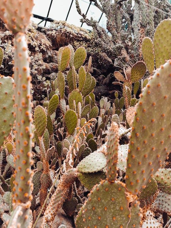 abundància, cactus, conservatori