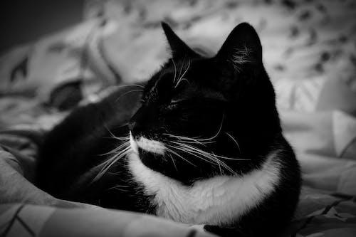 タキシード, タキシード猫, ネコ, 二色猫の無料の写真素材