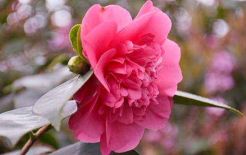 Immagine gratuita di all'aperto, bellissimo, bocciolo, fiore