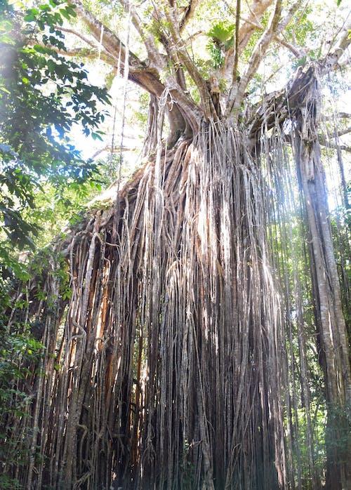 Immagine gratuita di albero, australia, enorme, foresta