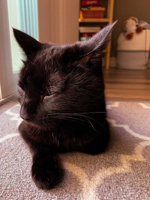 Gratis arkivbilde med dyr, dyreportrett, huskatt, innendørs katt