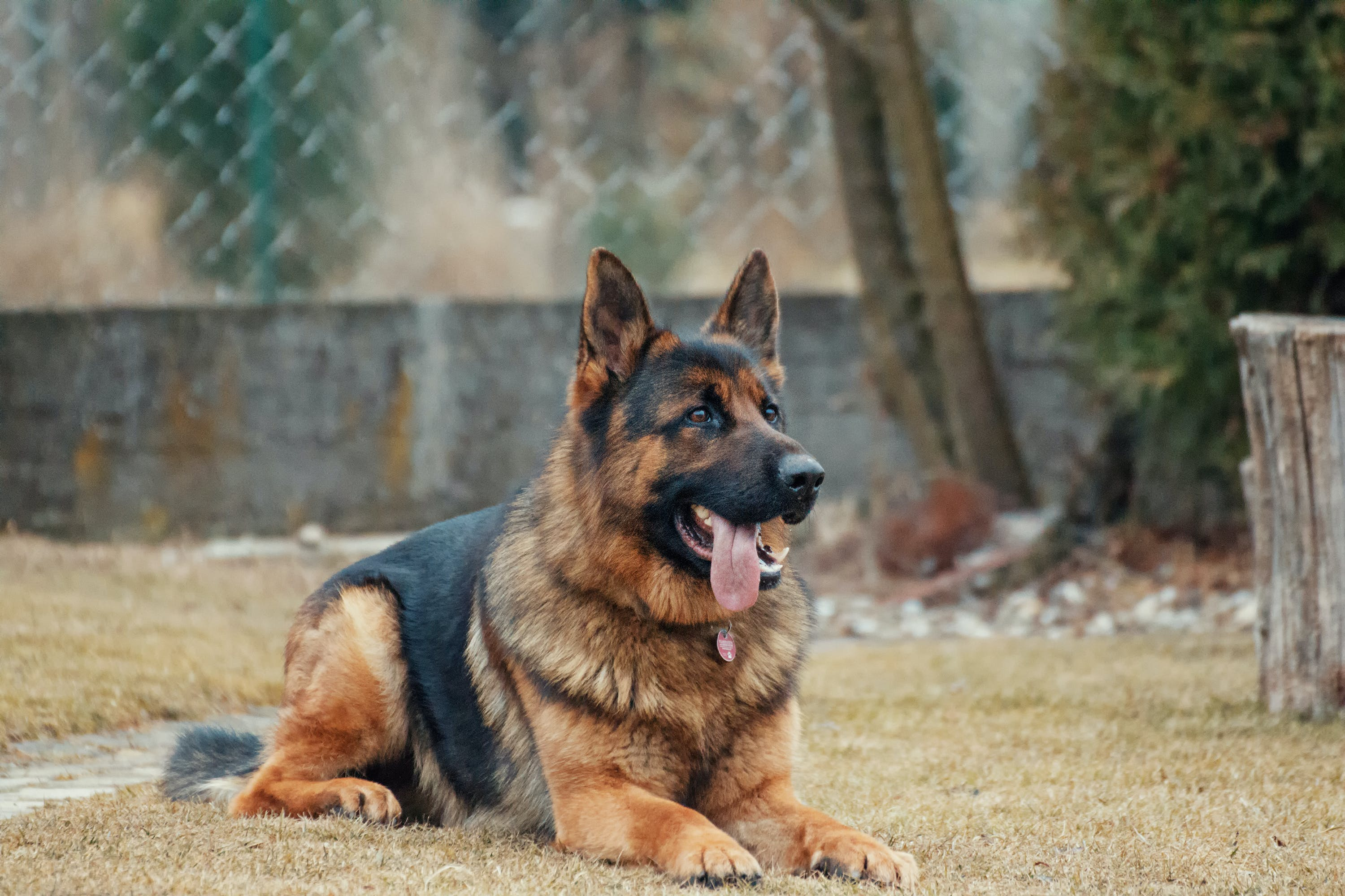 Adult German Shepherd Lying on Ground