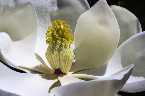 Macro Photo of White Magnolia in Bloom