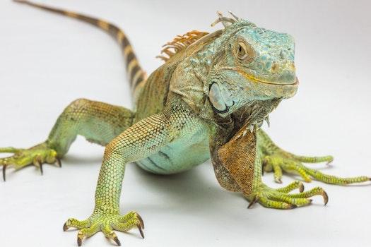 Green and Yellow Iguana