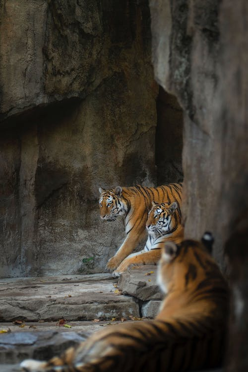Tigers Lying on Rocks