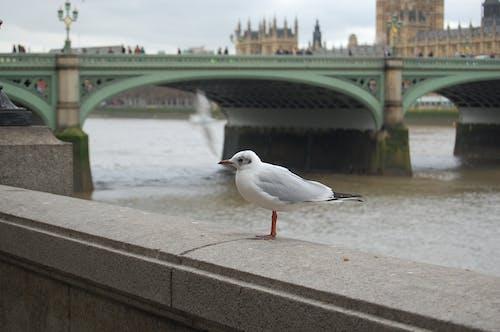 Free stock photo of england, london, seagull