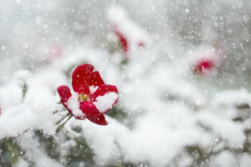 Free stock photo of cold, Red Rose, roses, snow