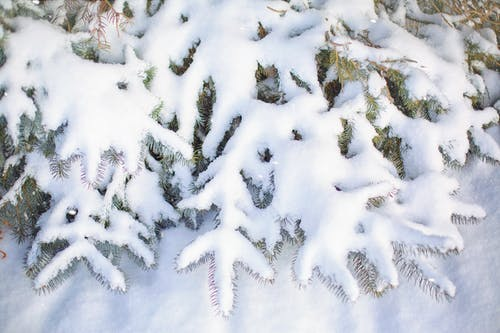 Free stock photo of cold, laden with snow, Pine Branches, snow
