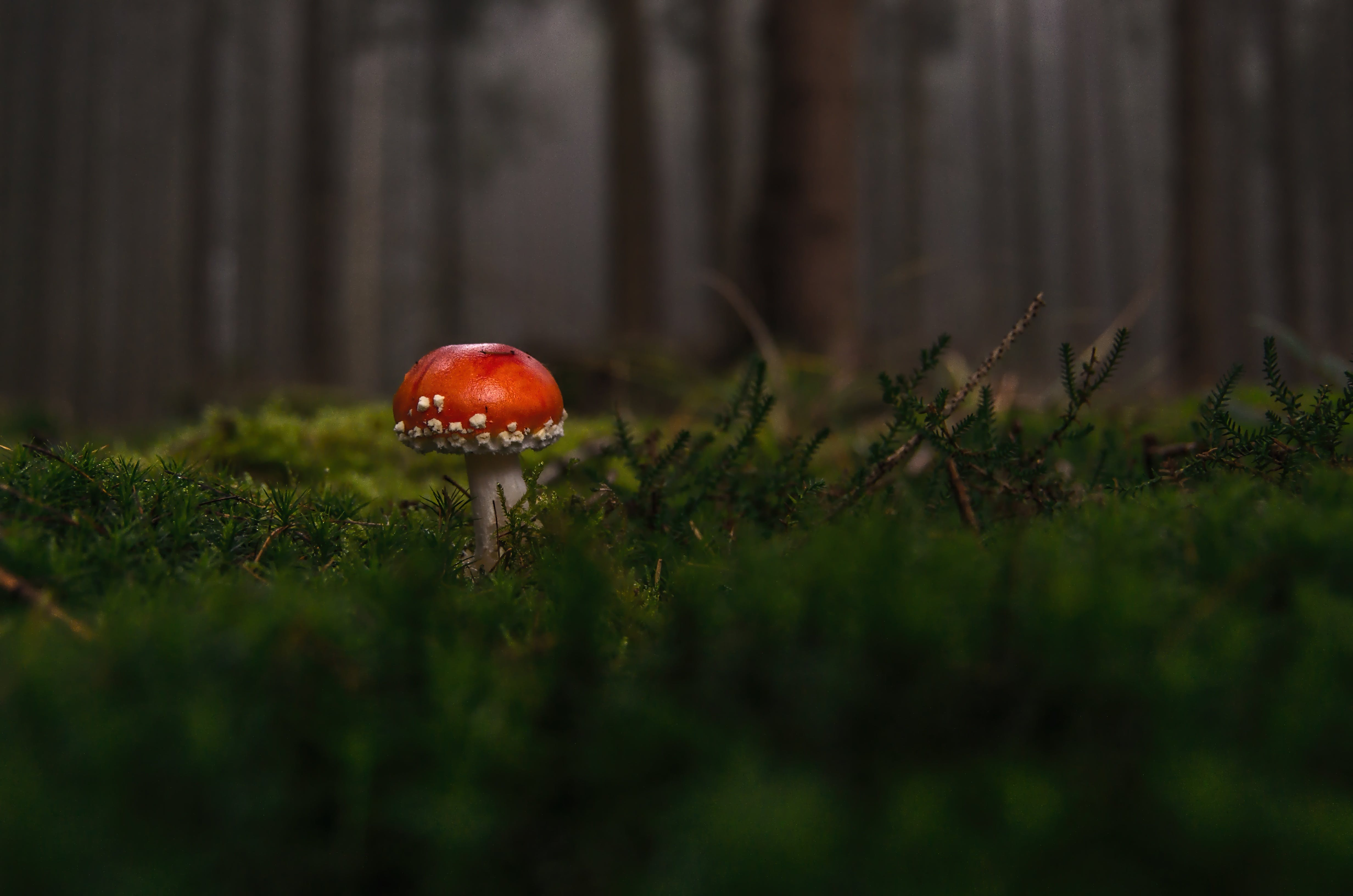 Red and White Mushroom