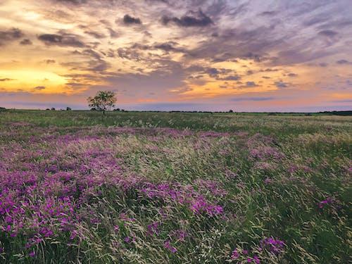 Imagine de stoc gratuită din amurg, câmp, câmp de flori, cer