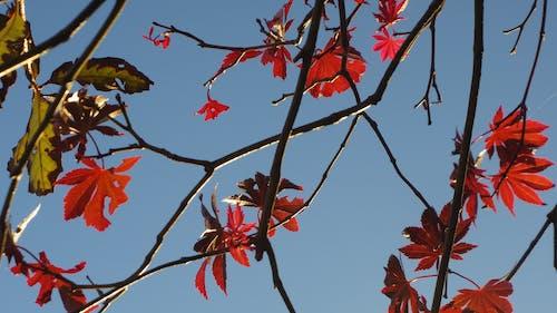 Бесплатное стоковое фото с зима, красный, листья