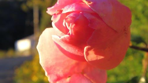 Бесплатное стоковое фото с зима, красный, роза