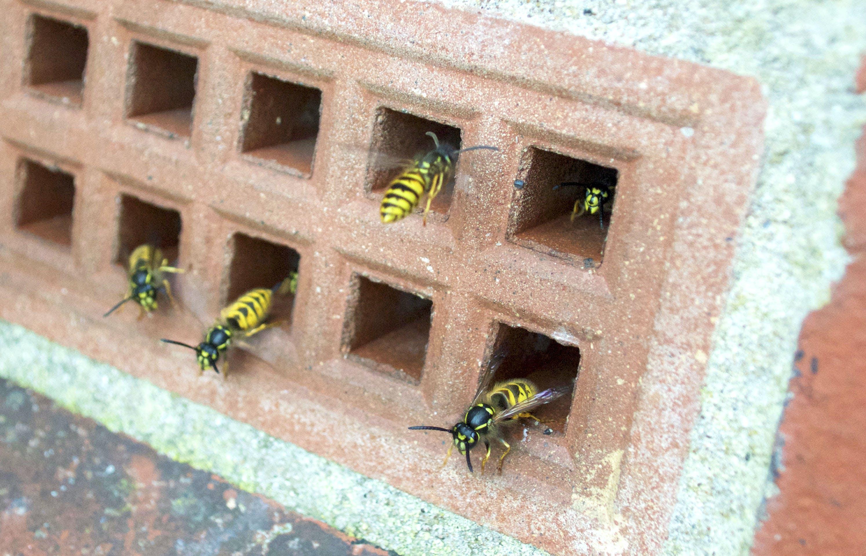 Free stock photo of wasp, wasps