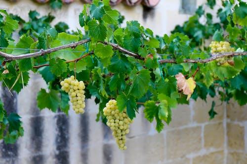 Free stock photo of foglie di vite, frutta, traliccio, uva