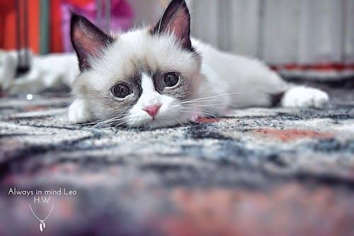 Бесплатное стоковое фото с всегда на виду лео, дикий, жизнь, котенок