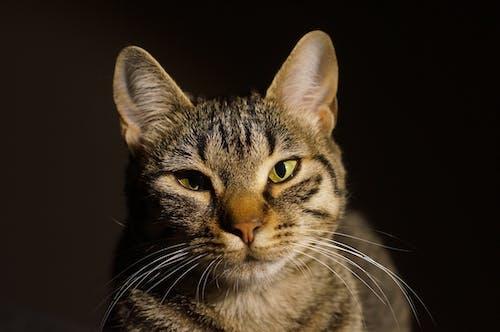 Darmowe zdjęcie z galerii z domowy, futro, koci, kot