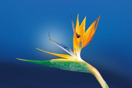 Macro Shoot Photography of Birds of Paradise Flower
