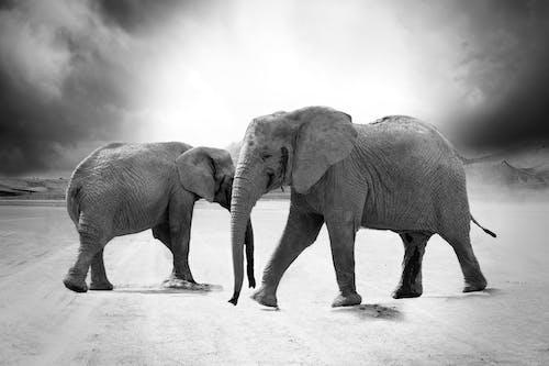 filler, hayvan fotoğrafçılığı, hayvanlar, siyah ve beyaz içeren Ücretsiz stok fotoğraf