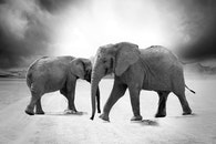 black-and-white, animals, wildlife