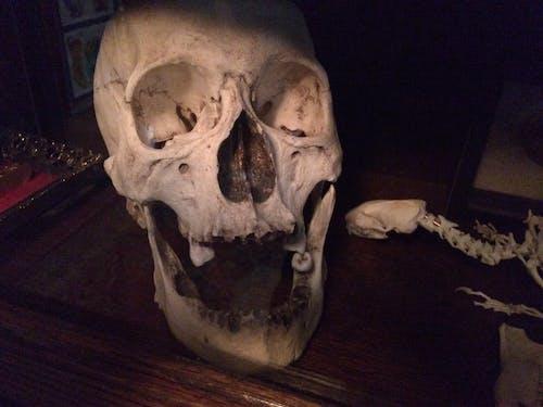 Free stock photo of bones, human skull, skull
