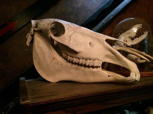 Free stock photo of animal bones, horse skull