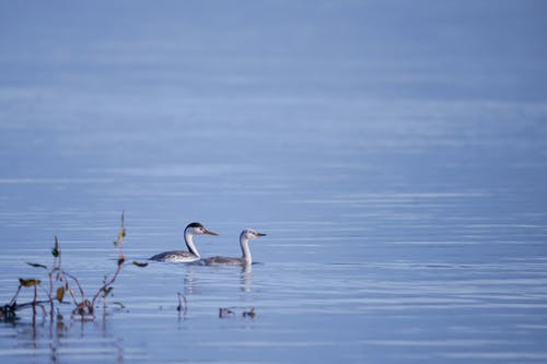 Two Birds on Water