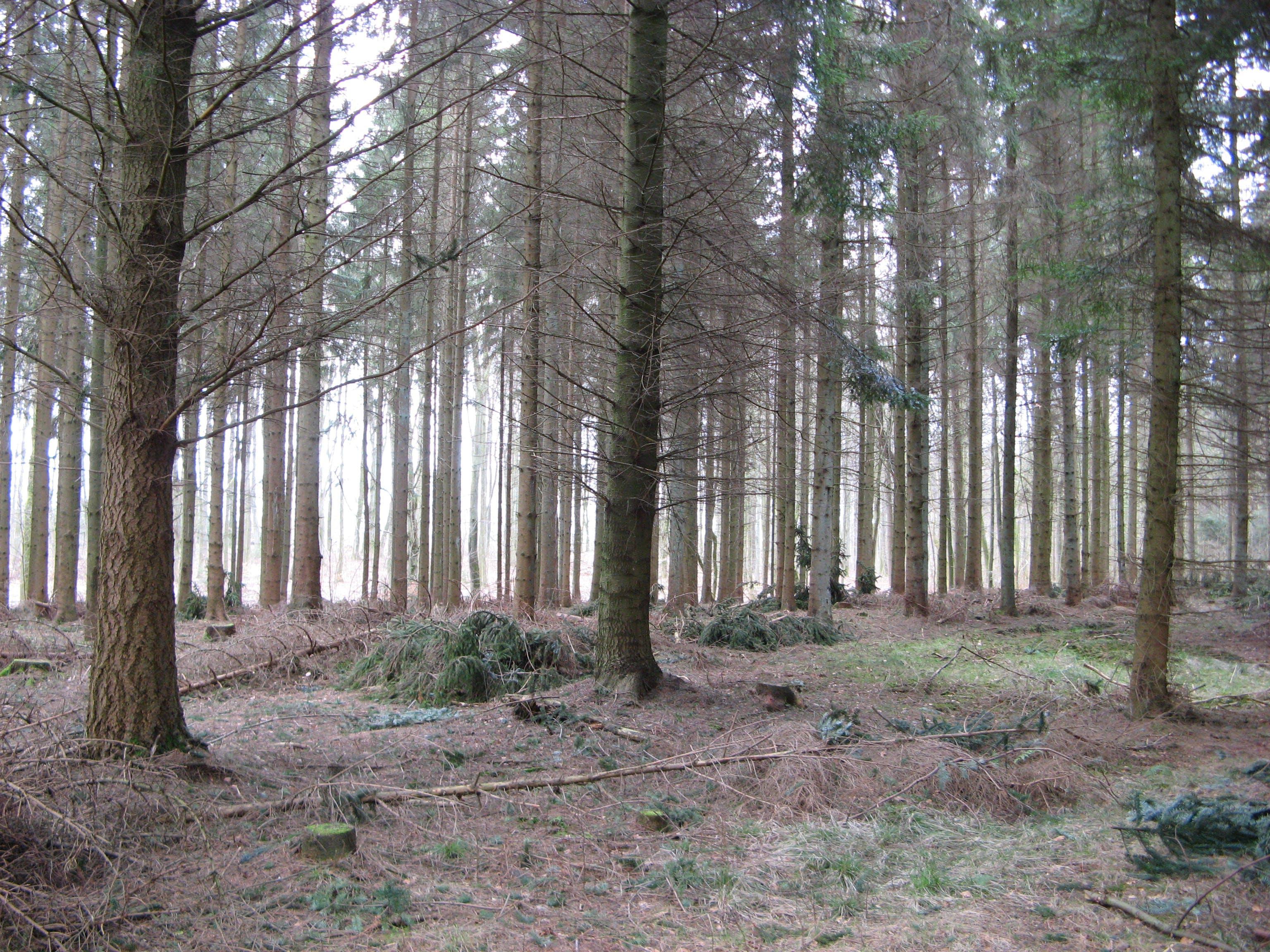 conifers, environment, fir trees