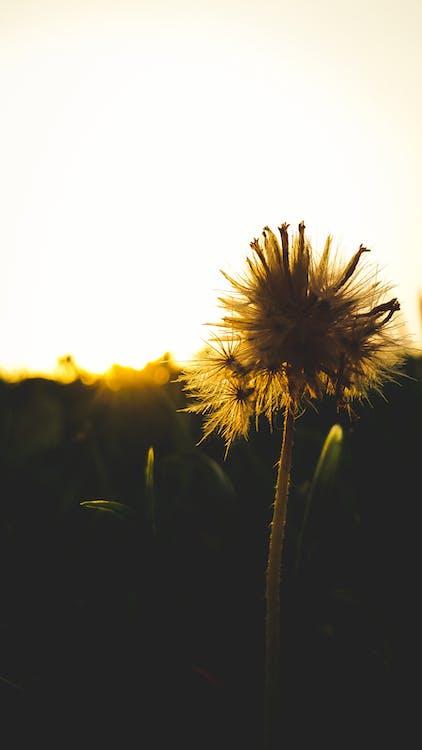 close, dente-de-leão, flor