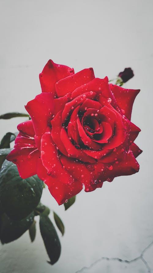 Foto profissional grátis de desafiodemobilidade, flor bonita, fotografia, fotografia de flores