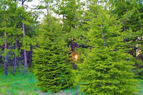 Ingyenes stockfotó ég, erdő, este, fák témában