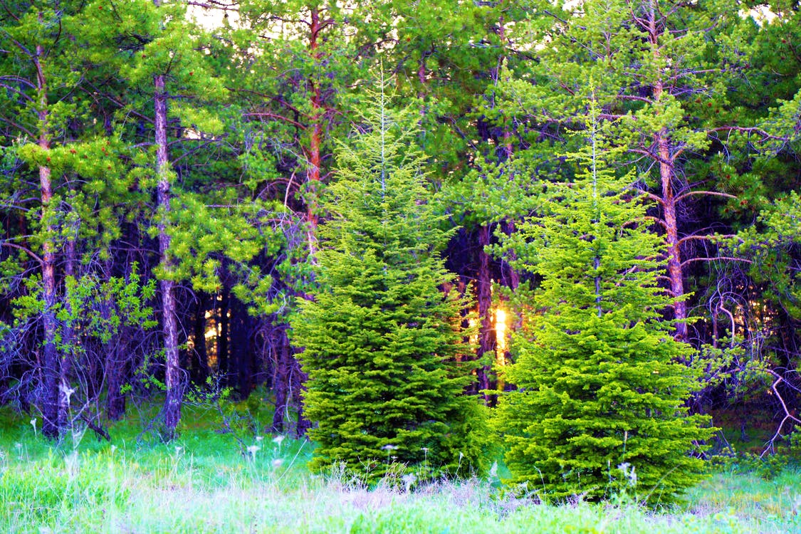 ég, erdő, fák