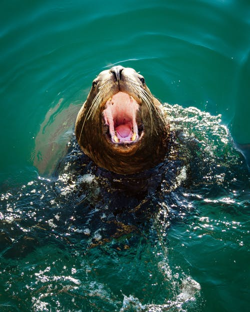 Photo of Seal Opening It's Mouth
