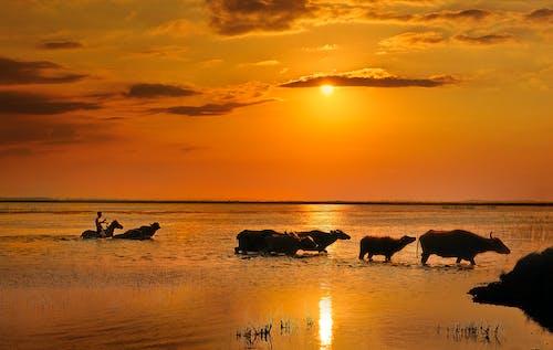 一群動物, 天空, 太陽, 家畜 的 免費圖庫相片