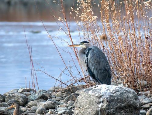 그레이 헤론, 깃털, 날개, 돌의 무료 스톡 사진