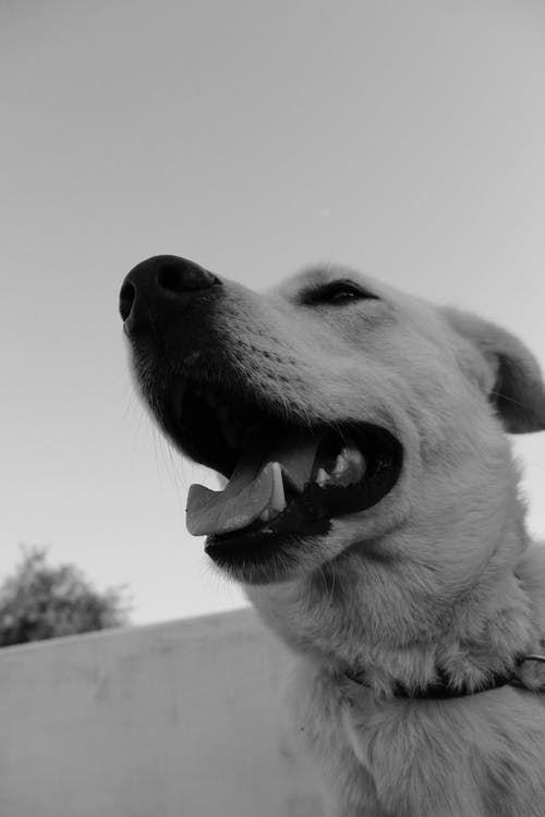 köpek, siyah ve beyaz içeren Ücretsiz stok fotoğraf