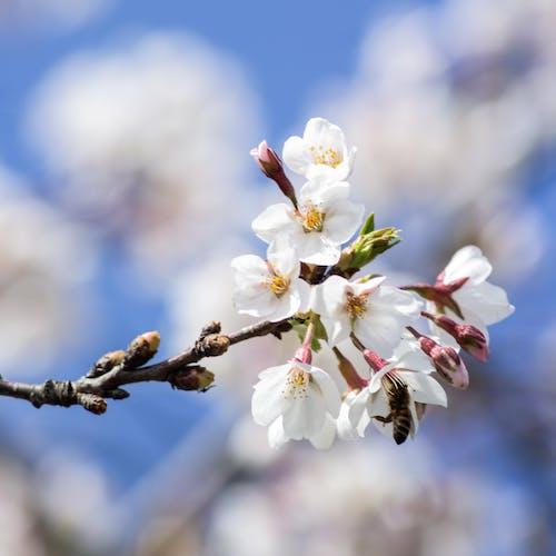 Foto d'estoc gratuïta de flor, flor de cirerer, natura