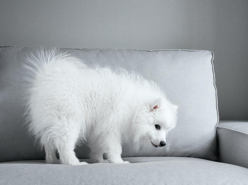 biela, domáce zviera, gauč