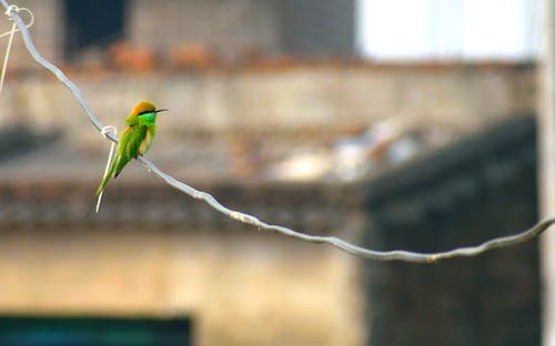 Free stock photo of bird, bird watching, Green bee eater