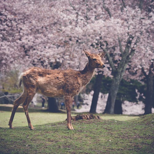Photos gratuites de cerf, japon, natureworld