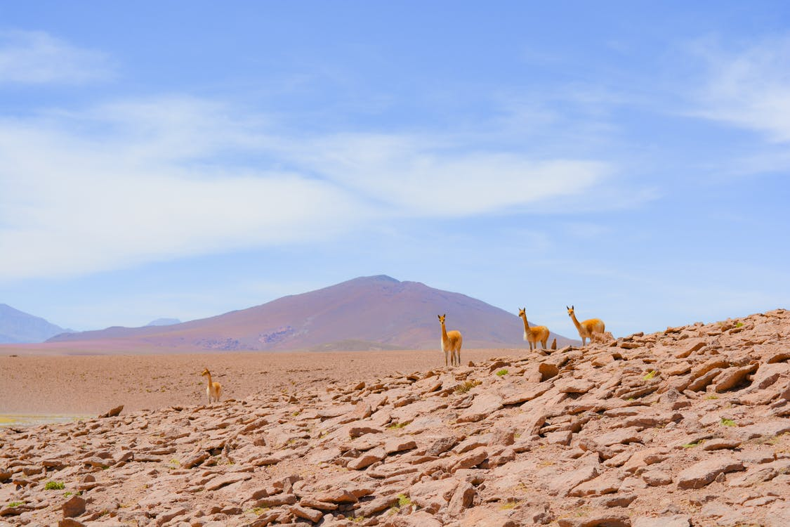 Vicuña on Rocks
