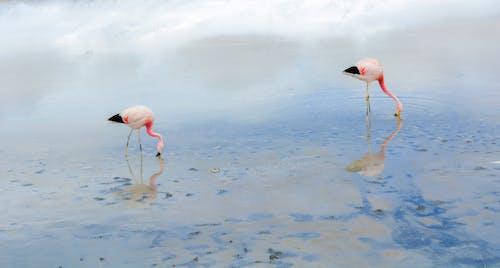Free stock photo of animal, flamingo, lake, water