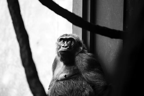 Monochrome Photo of Monkey Leaning on Wall
