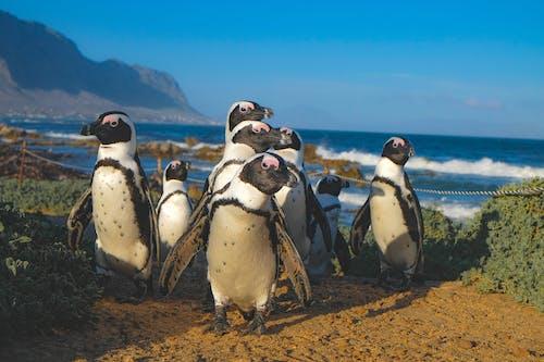 Základová fotografie zdarma na téma africké tučňáci, betty's bay, denní světlo, divočina