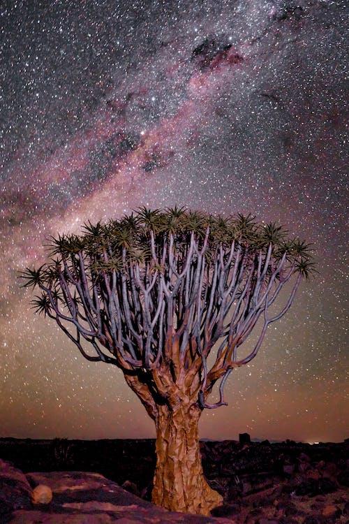 Immagine gratuita di africa, albero, albero della faretra, ambiente